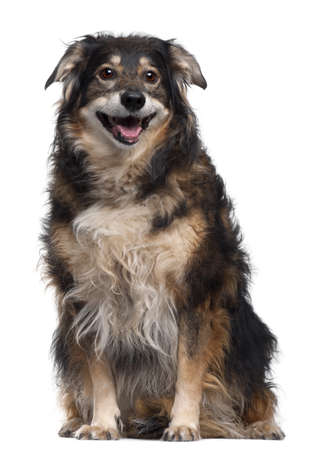 Mixed-breed dog, 12 years old, sitting in front of white background photo