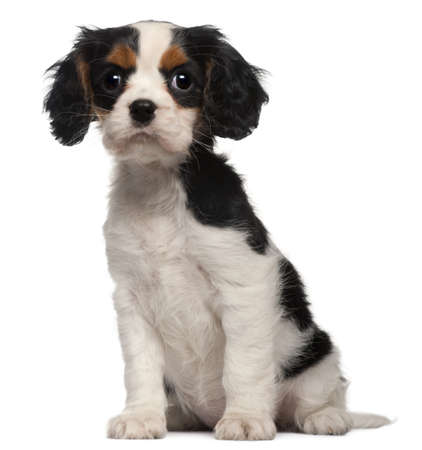 Cavalier King Charles Puppy, 2 months old, sitting in front of white background photo