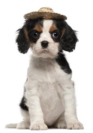 alerta: Cavalier King Charles Puppy con sombrero de paja, 2 meses de edad, sentado frente a fondo blanco Foto de archivo