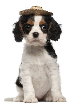 Cavalier King Charles Puppy wearing straw hat, 2 months old, sitting in front of white background photo