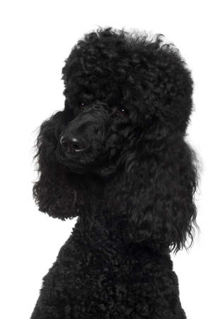 Royal Poodle, 18 months old, in front of white background photo