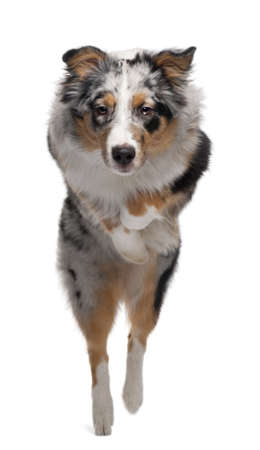 Australian Shepherd dog jumping, 7 months old, in front of white background photo