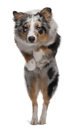 australian shepherd: Australian Shepherd dog jumping, 7 months old, in front of white background Stock Photo