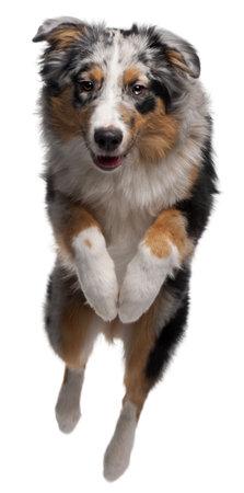 personas saltando: Perro pastor australiano saltar, 7 meses de edad, de fondo blanco Foto de archivo