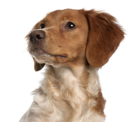Close-up of Brittany puppy, 6 months old, in front of white background Stock Photo - 8651746