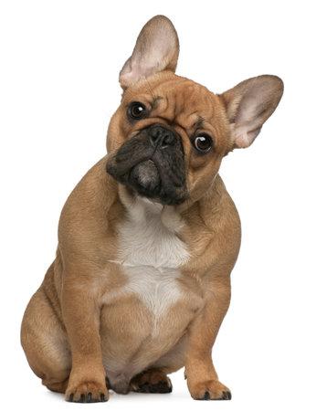 buldog: Cachorro de Bulldog franc�s, 5 meses de edad, sentado frente a fondo blanco