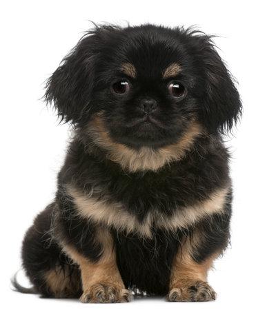 pekingese: Pekingese puppy, 4 months old, sitting in front of white background