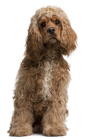 cocker: American Cocker Spaniel, 10 months old, sitting in front of white background