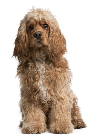 American Cocker Spaniel, 10 months old, sitting in front of white background photo