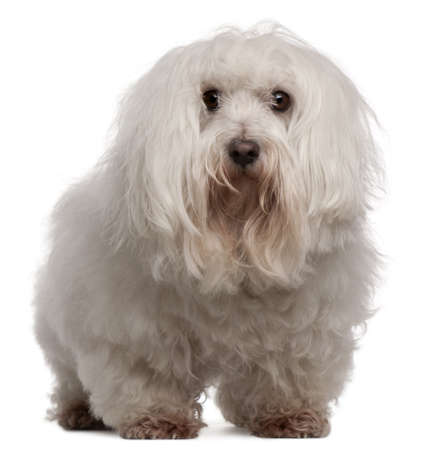Maltese, 7 years old, standing in front of white background photo