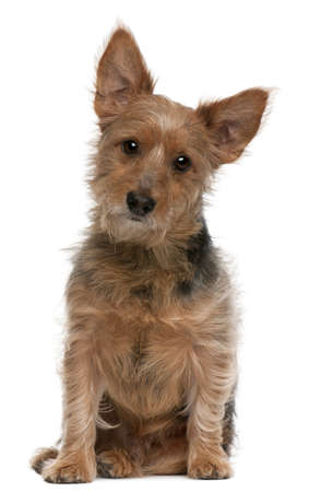 australian animals: Australian Terrier dog, 9 years old, sitting in front of white background Stock Photo