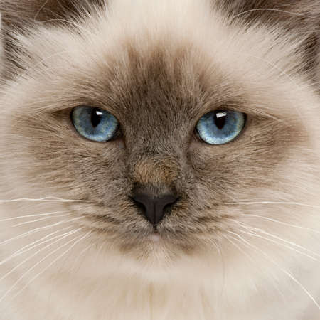 birman kitten: Close-up of Birman cats face, 5 months old Stock Photo