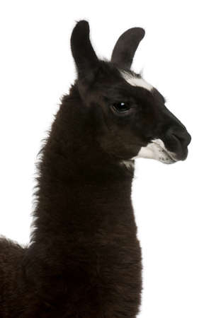 llama: Llama, Lama glama, in front of white background