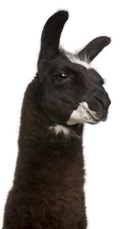 Llama, Lama glama, in front of white background photo