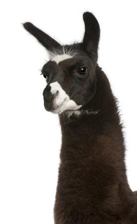 llama: Lama, an Lama, davanti a sfondo bianco