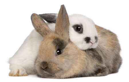 snuggling: Two rabbits in front of white background