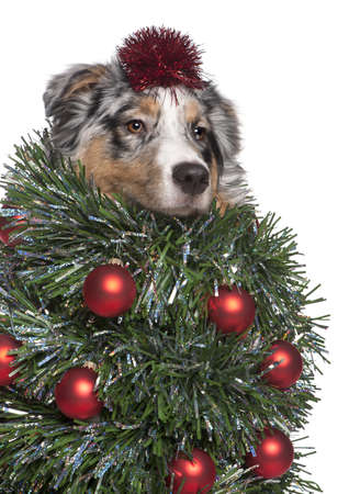 australian animals: Australian Shepherd dog dressed as Christmas tree, 7 months old, in front of white background