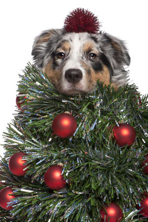 Australian Shepherd dog dressed as Christmas tree, 7 months old, in front of white background photo