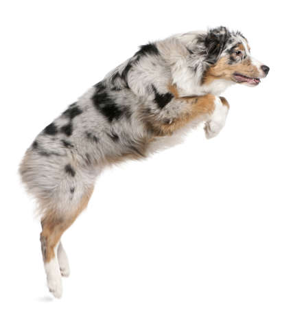 australian animals: Australian Shepherd dog jumping, 7 months old, in front of white background Stock Photo