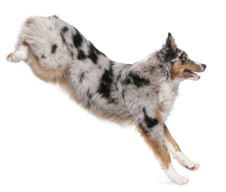 no movement: Australian Shepherd dog jumping, 7 months old, in front of white background Stock Photo