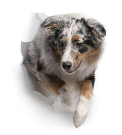 breaking through: Australian Shepherd dog jumping out of white background, 7 months old