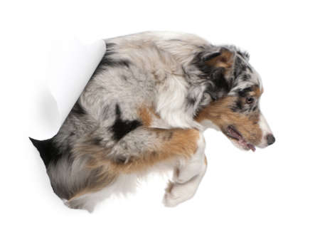 dog running: Australian Shepherd dog jumping out of white background, 7 months old