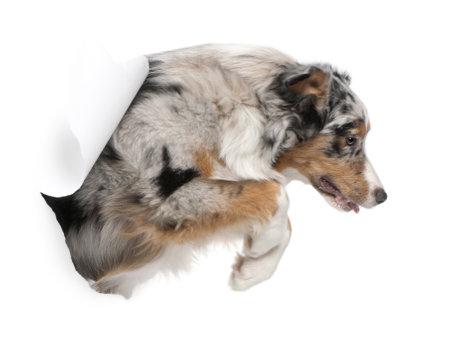 perro corriendo: Perro pastor australiano saltando de fondo blanco, 7 meses de edad