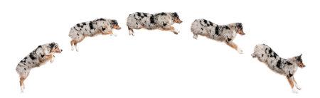 perro corriendo: Composici�n de perros de pastor australiano saltando en una fila, 7 meses de edad, de fondo blanco
