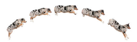leap: Composition of Australian Shepherd dogs jumping in a row, 7 months old, in front of white background Stock Photo