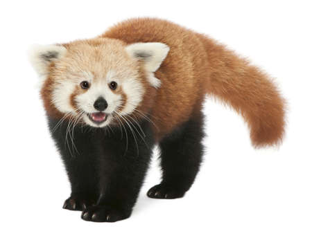 animal species: Young Red panda or Shining cat, Ailurus fulgens, 7 months old, in front of white background Stock Photo