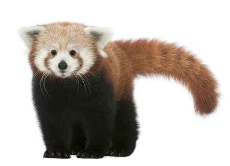 panda bear: Young Red panda or Shining cat, Ailurus fulgens, 7 months old, in front of white background Stock Photo