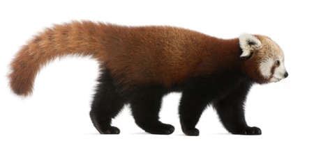 Young Red panda or Shining cat, Ailurus fulgens, 7 months old, in front of white background photo