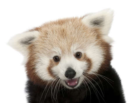 panda bear: Close-up of Young Red panda or Shining cat, Ailurus fulgens, 7 months old, in front of white background