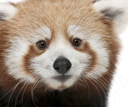 arboreal: Close-up of Young Red panda or Shining cat, Ailurus fulgens, 7 months old, in front of white background