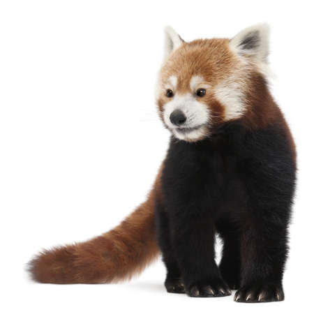 zoogdier: Oude rode panda of Shining kat, Ailurus fulgens, 10 jaar, voor witte achtergrond