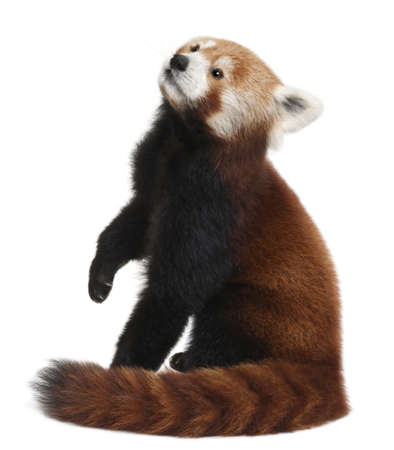 arboreal: Old Red panda or Shining cat, Ailurus fulgens, 10 years old, in front of white background