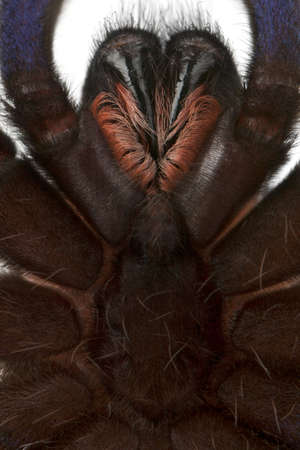 stingers: Close-up of Tarantula spider, Poecilotheria Metallica, in front of white background Stock Photo