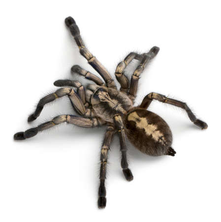 lethal: Tarantula spider, Poecilotheria Metallica, in front of white background