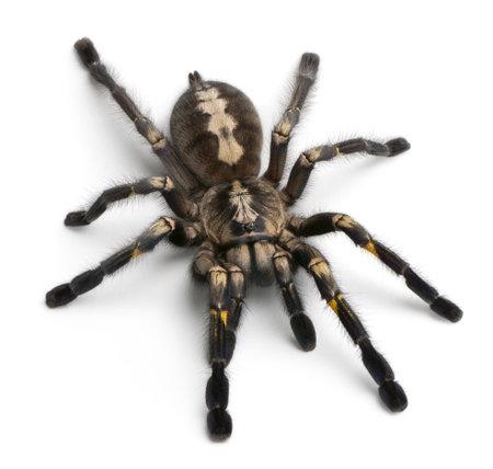 spider: Tarantula spider, Poecilotheria Metallica, in front of white background