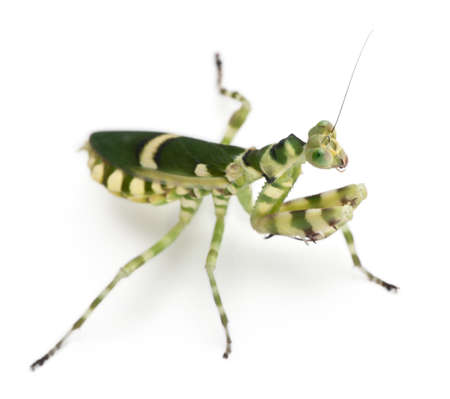Female Banded Flower Mantis or Asian Boxer Mantis, Theopropus elegans, in front of white background photo