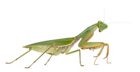 mantis: Female Praying Mantis, Rhombodera Basalis, in front of white background Stock Photo