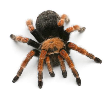 tarantula: Tarantula spider, Brachypelma Boehmei, in front of white background Stock Photo