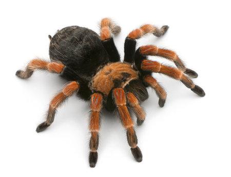 Tarantula spider, Brachypelma Boehmei, in front of white background Stock fotó