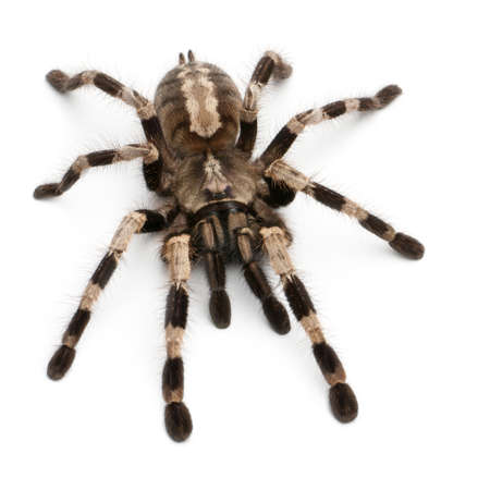 spider: Tarantula spider, Poecilotheria Miranda, in front of white background