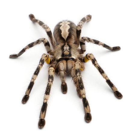 Tarantula spider, Poecilotheria Fasciata, in front of white background photo