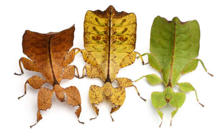 Phyllium Westwoodii, three stick insects, in front of white background photo
