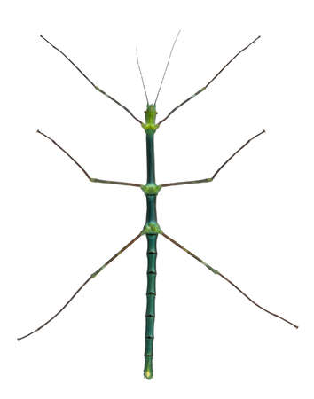 Myronides Sp, stick insect, in front of white background Stock Photo - 8971842