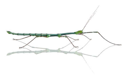 Myronides Sp, stick insect, in front of white background photo