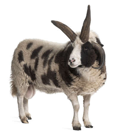 jacob: Multi-horned Jacob Ram, Ovis aries, in front of white background Stock Photo