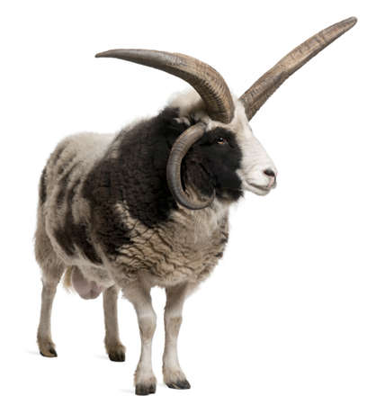Multi-horned Jacob Ram, Ovis aries, in front of white background Stock Photo